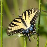"""Eastern Tiger Swallowtail"" by WildAboutNaturePhotography"