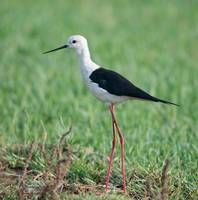 Black-winged Stilt, Basai