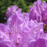 """Botanical Purple Pink Rhodies floral art prints"" by BasleeTroutman"