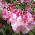 """Green Garden Art Prints Rhodies Flowers art prints"" by BasleeTroutman"