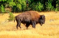 Powerful Male Bison