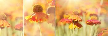 Sunlit Orange Helenium Flowers Triptych