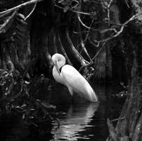 Everglades Vanishing Beauty Collection Egret2