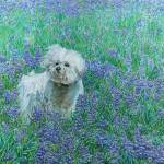 """Bichon in Bluebonnets"" by dominicwhite"