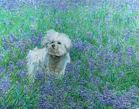Bichon in Bluebonnets