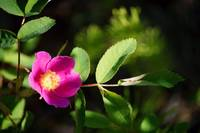 Prickly Wild Rose (rosa acicularis)