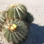 """""""cactus"""" by kawaArt"""
