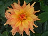 Peach & Yellow Dahlia