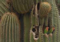 Love Birds in the Saguaro
