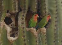 Lovebirds in Saguaro