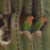 Love Birds in the Saguaro Art Prints & Posters by Gayela Chapman