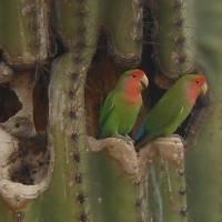 Lovebirds in Saguaro Art Prints & Posters by Gayela Chapman