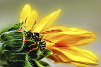 Yellowjacket Sunflower