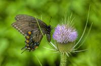 Eastern Tiger Swallowtail (Papilio glaucus) dark f