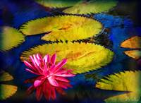 Water Lily and dying Lily Pads