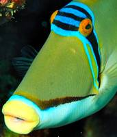 Picasso Triggerfish Close