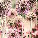 """Giant Allium - Dusky Pink"" by bonniebruno"