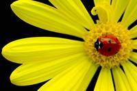 Ladybug on yellow daisy edited