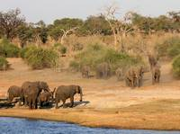 Elephants gather at the Chobe River