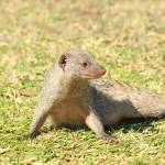 """Banded Mongoose 5249"" by rayjacque"