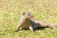 Banded Mongoose 5249
