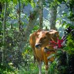 """""""Cows in the forest"""" by iPilot1000"""