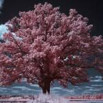 """Burr Oak Infrared"" by chrisjw"