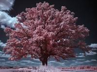 Burr Oak Infrared