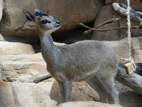 KLIPSPRINGER CALF