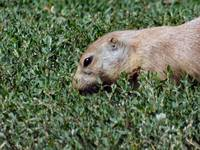 GROUND HOG 4