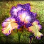 """Iris-beautiful-flower-bright-artwork-painting"" by Art_by_Lilia"