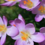 """Early Spring Crocuses"" by newimage"