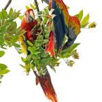 """""""Scarlet Macaws"""" by shelshots"""