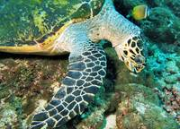 Green Turtle Eating