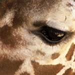 """Reticulated Giraffe Natures Spots"" by JMcQ"