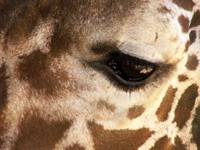 Reticulated Giraffe Natures Spots