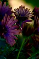 Gerberas at Dawn