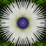 """White Passion Flower"" by SeaAngel12"