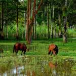 """Horses Grazing In The Amazon Jungle"" by ButchOsbornePhotography"