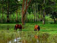 Horses Grazing In The Amazon Jungle