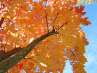 Autumn Trees Blue Sky Looking Up Leaves Fall art p