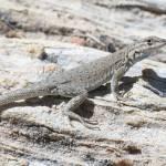 """Side Blotched Lizard"" by ReptilesandRenderings"