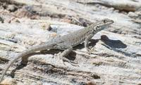 Side Blotched Lizard