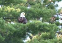 Northwoods Eagle