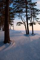 Snow-covered pine wood at sunset