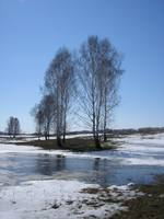 The spring, thaws snow and naked birches