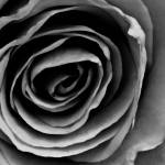 """Red Rose in Black and White"" by SeanPeck"