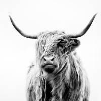 portrait of a highland cow Art Prints & Posters by Dorit Fuhg