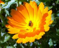 Bee in orange flower
