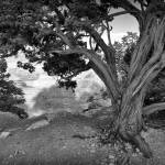 """pinyon pine"" by jacquelineevans"